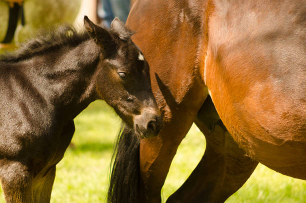 Foal horse with his mother Foal horse with his mother on a sunny summer day. foal young animal stock pictures, royalty-free photos & images