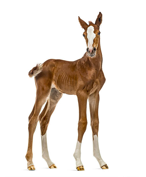 Foal looking at the camera isolated on white Foal looking at the camera isolated on white foal young animal stock pictures, royalty-free photos & images
