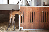 Foal looks out of horse box