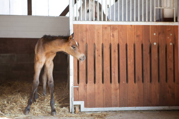 Foal looks out of horse box a foal is shakily mute next to the mother and looks out of the horse box foal young animal stock pictures, royalty-free photos & images