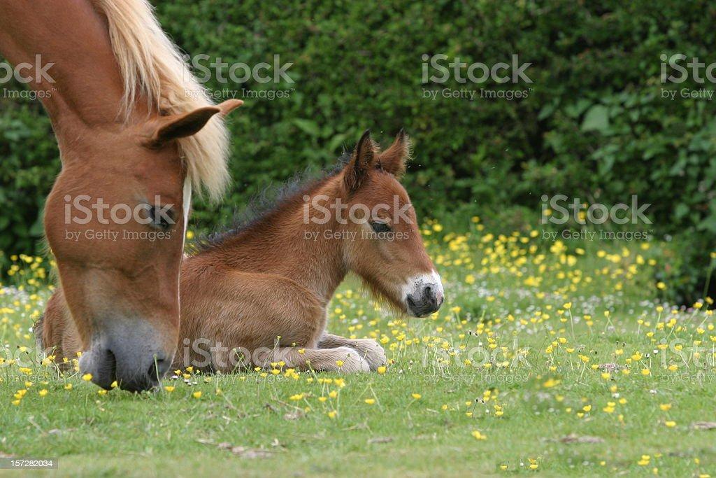Foal lying down while dam grazes in grassy field stock photo