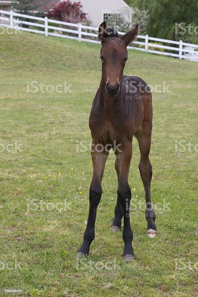 Foal  - Mare or colt stock photo