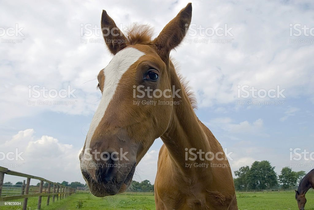 Foal on a meadow is looking at you 02 royaltyfri bildbanksbilder