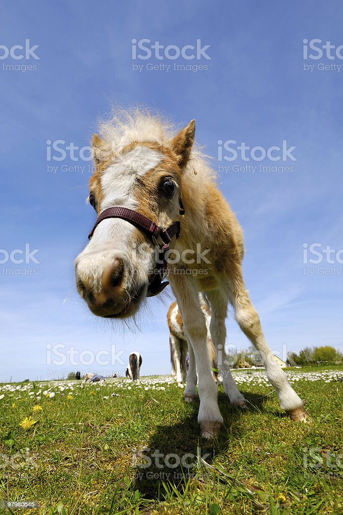Foal on green grass at summer royalty-free stock photo