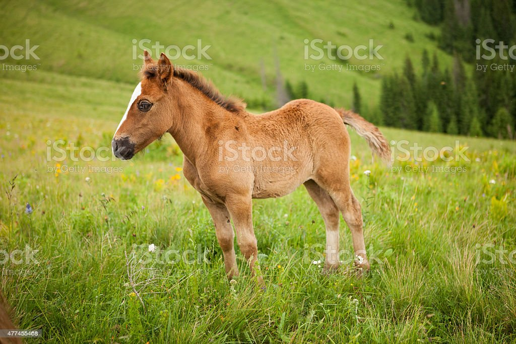 Foal on greent meadow in mountains stock photo