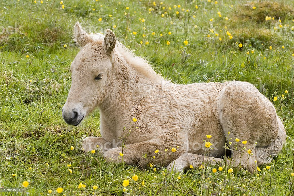 Foal on the meadow royalty-free stock photo