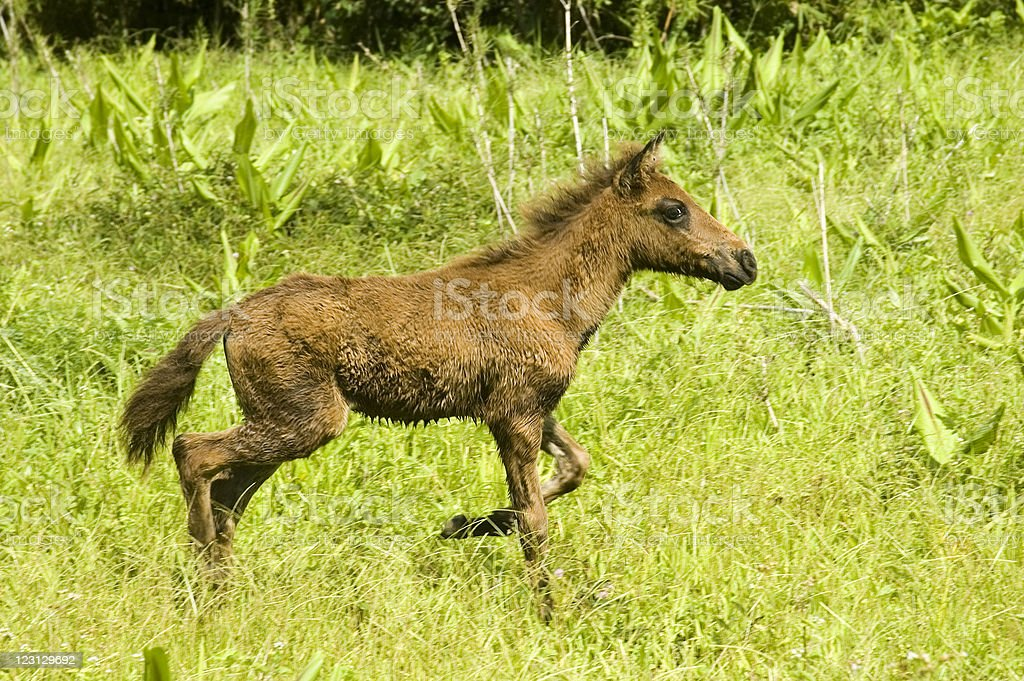 Foal royalty-free stock photo
