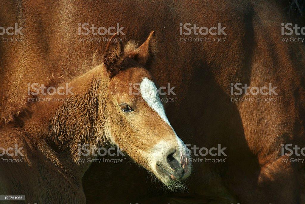 Foal portrait royalty-free stock photo