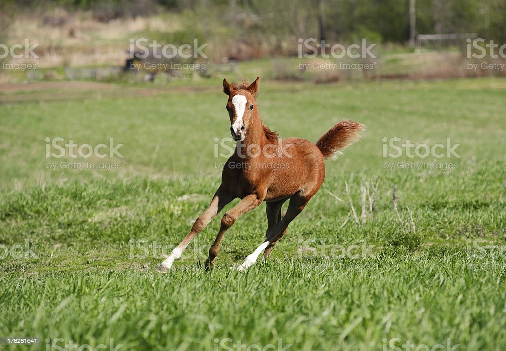 foal running royalty-free stock photo