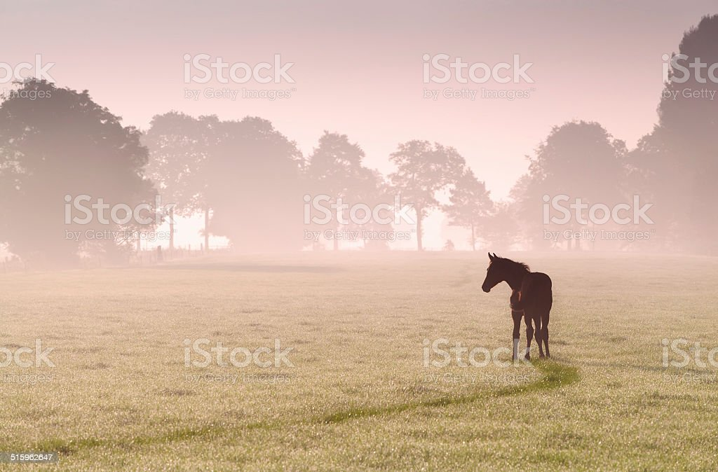 foal silhouette on pasture in fog stock photo