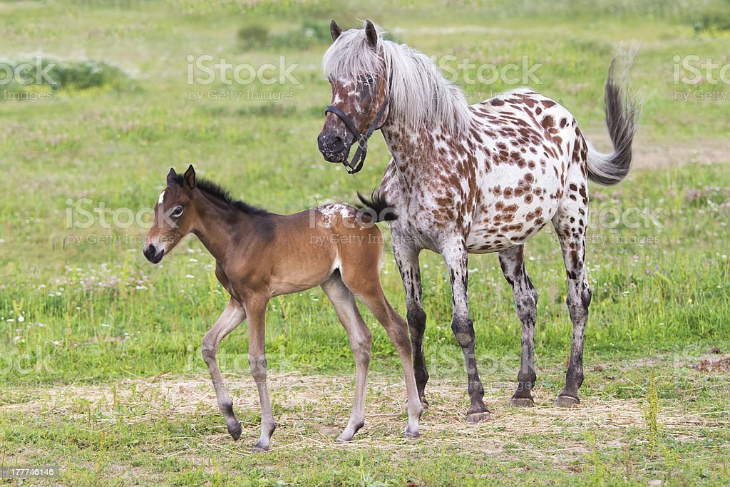 Foal with a mare royalty-free stock photo