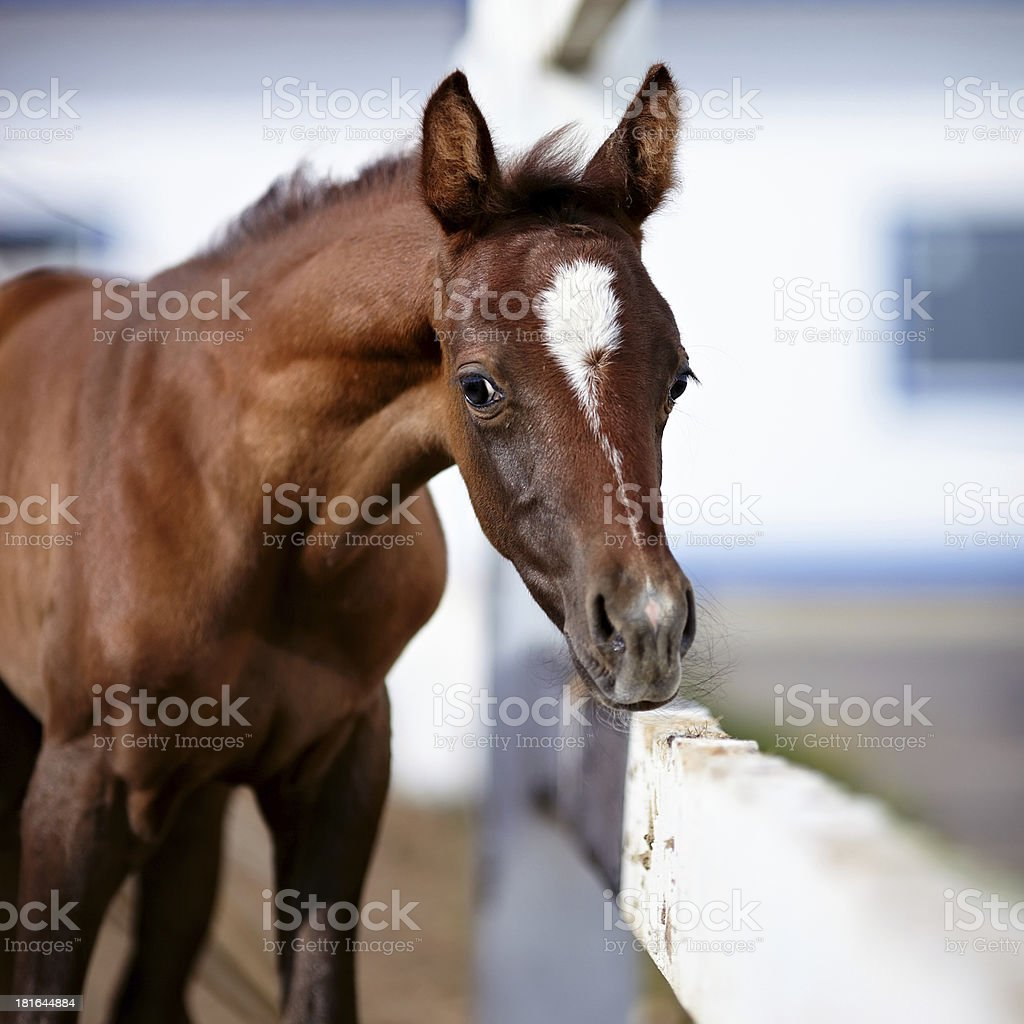 Foal with an asterisk on a forehead. royalty-free stock photo