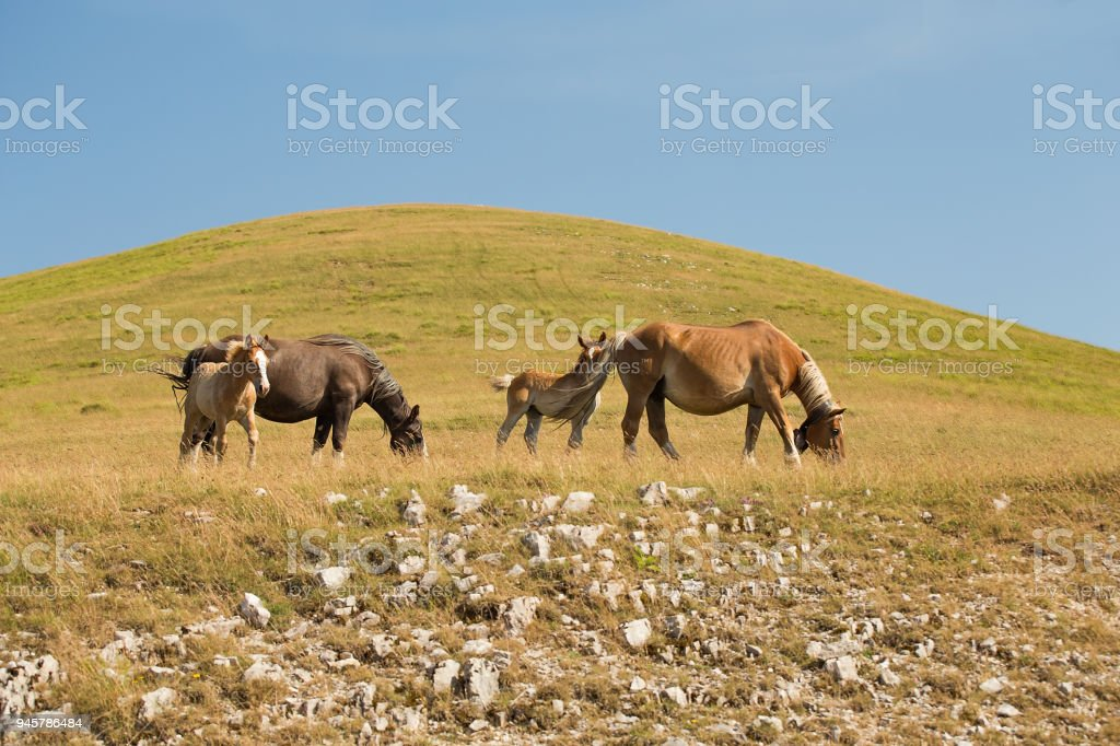 Foals and adult horses grazing in a meadow stock photo