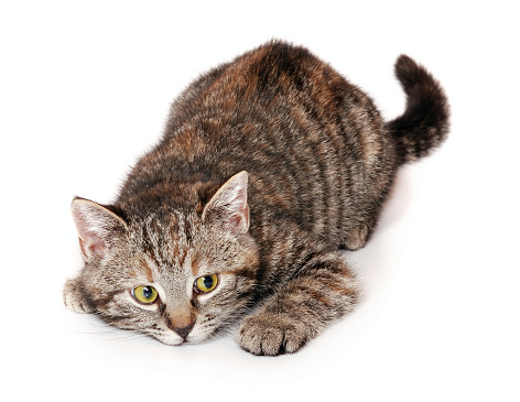 Focus Cat Stock Photo - Download Image Now - iStock