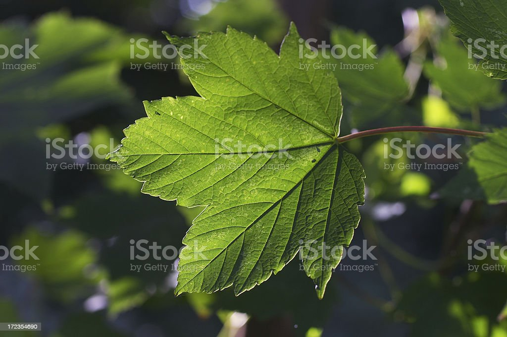 Sycamore Acer pseudoplatanus leaf backlit royalty-free stock photo
