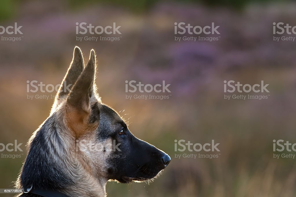 Focus German Shepherd - Photo