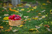 Focus of tasty and juicy harvest of fruits in garden. Full basket of red apple among green grass. Concept of food and autumn.