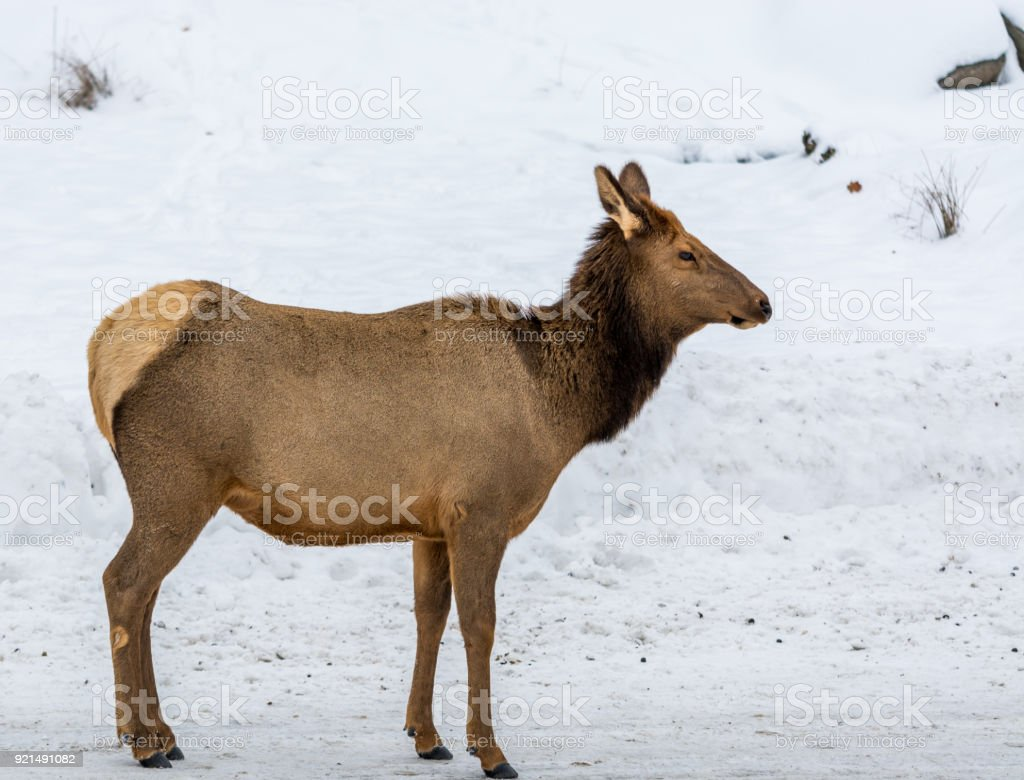 Focus On A Female Elk in the northern winter snow background. stock photo