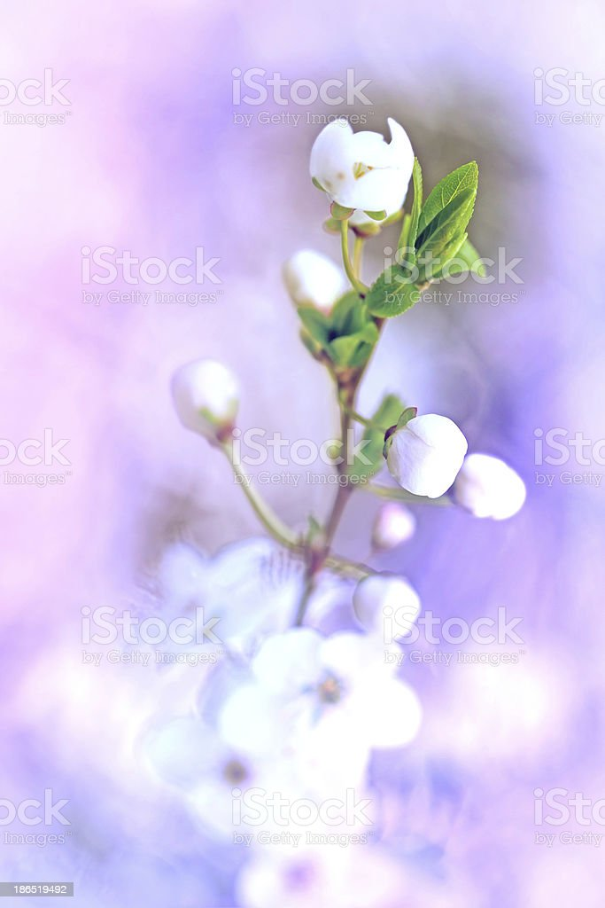 Focus on leaf and bud is out (Flowering in Spring) royalty-free stock photo