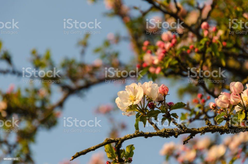 Focus on one pink apple tree flower - Royalty-free Apple - Fruit Stock Photo
