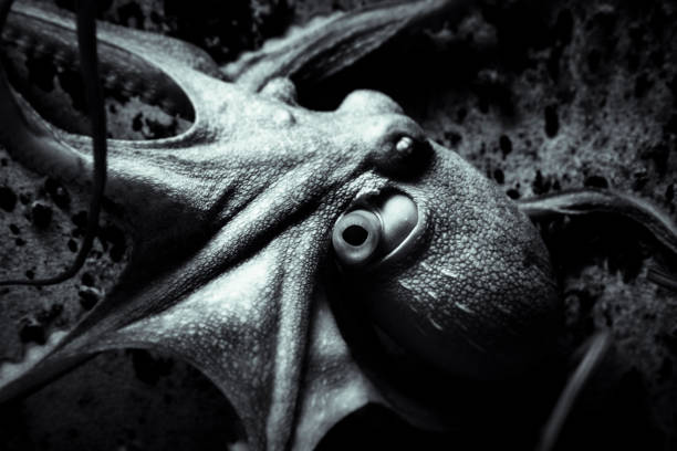 Focus on part of octopus with dark background in aquarium stock photo