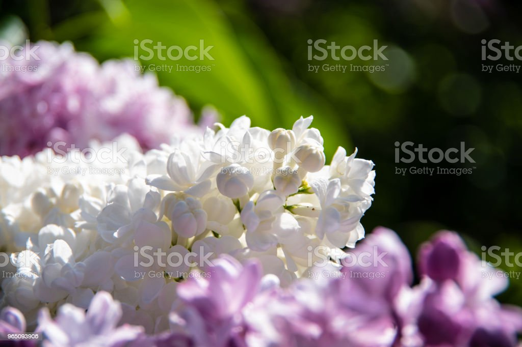 Focus on small white lilac buds royalty-free stock photo