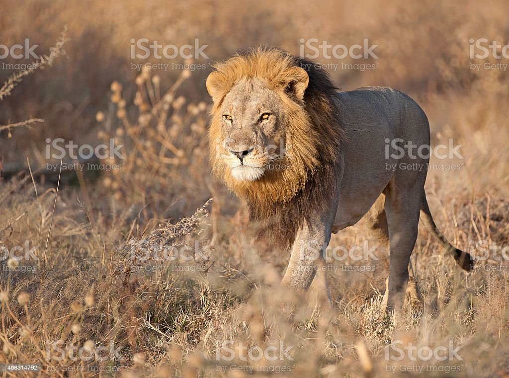 Focus on the hunt, male lion, Savuti,Chobe, Botswana stock photo