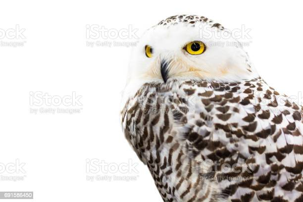 Focus on the yellow eye of white owl picture id691586450?b=1&k=6&m=691586450&s=612x612&h=qa1xhbqw g3i70zarouhcqb ccutrdl0qlnbjfxx29y=