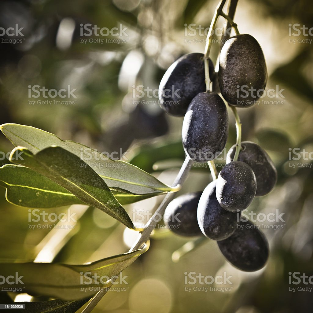 Focus on Tuscan Black Olives, Italy royalty-free stock photo