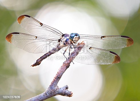 Focus Stacked Back Lit Macro Image of a Blue Dasher Dragonfly Perched on a Stick with a Green Background