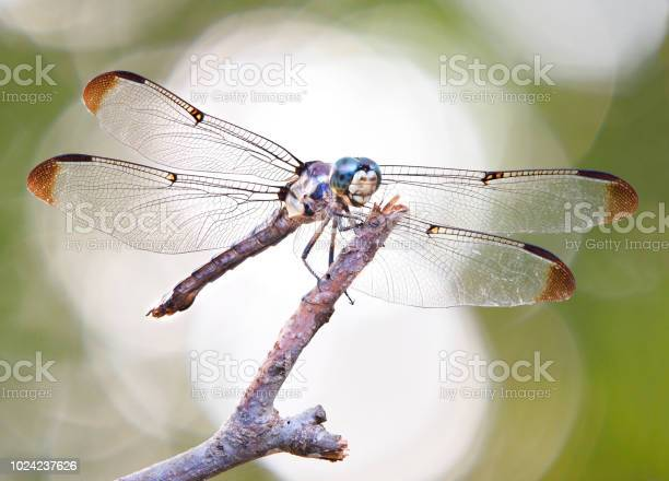 Focus stacked backlit blue dasher dragon fly perched on a stick picture id1024237626?b=1&k=6&m=1024237626&s=612x612&h=rnoomjw3w ourj4yc3mz5vfbpibhmb7apsshbxy2vqk=