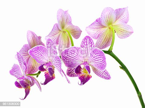 Focus Stacked Image of Six Purple and White Orchids Isolated on White