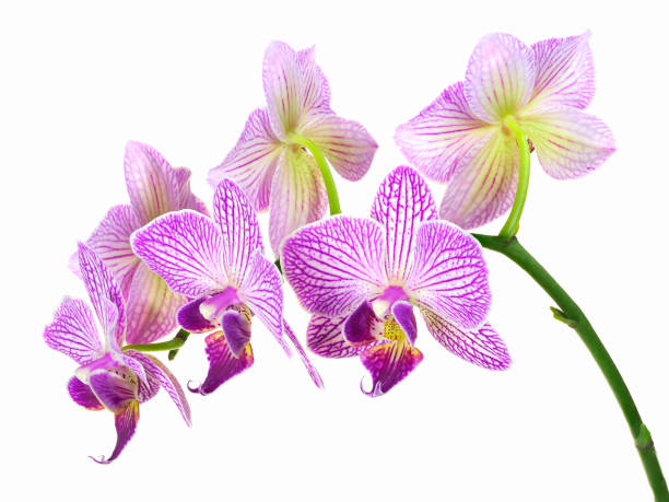 focus stacked image of purple and white orchids on white - orchidea foto e immagini stock