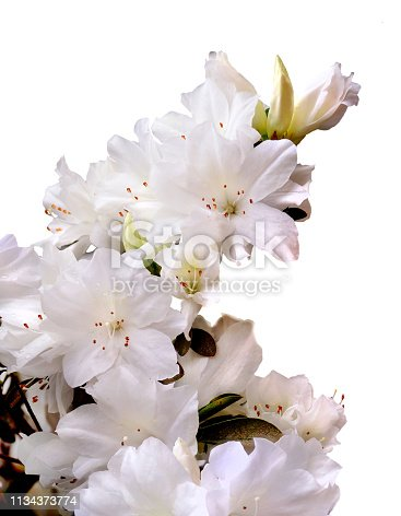 A Focus Stacked Image of a Branch of White Azaleas Isolated on White