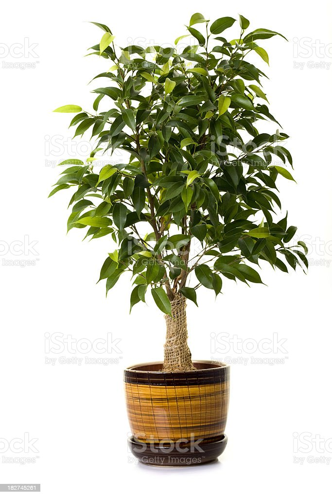 Focus tree in flowerpot on white background stock photo