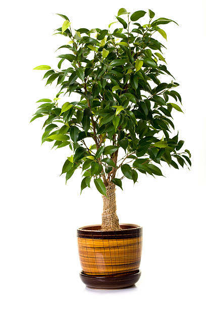 Focus tree in flowerpot on white background stock photo