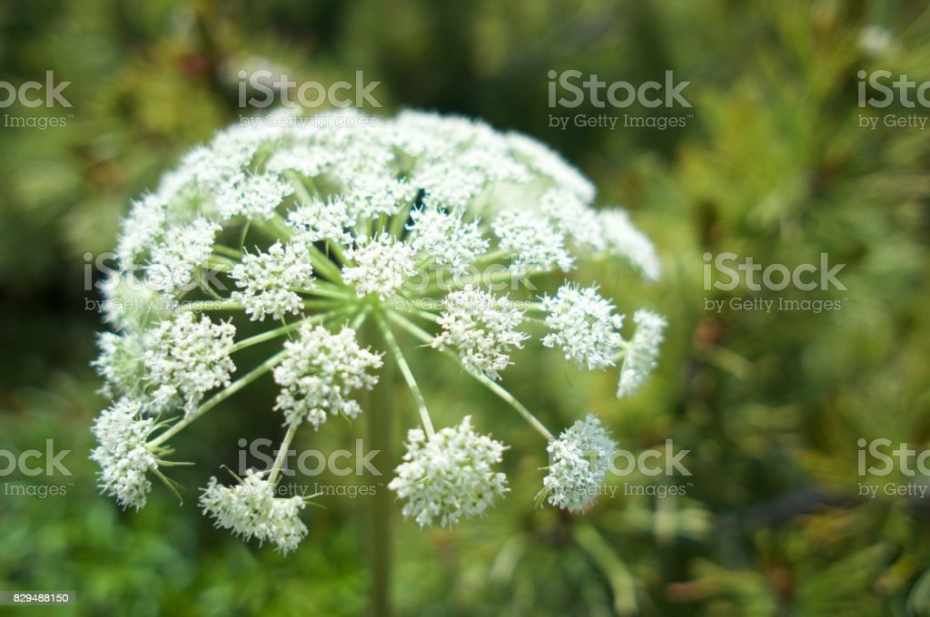 Focused Alpien plant white flower stock photo