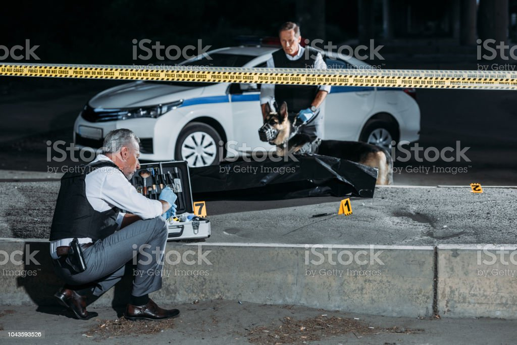 focused mature policeman sitting with case for investigation tools while his colleague with alsatian on leash standing near corpse in body bag at crime scene stock photo