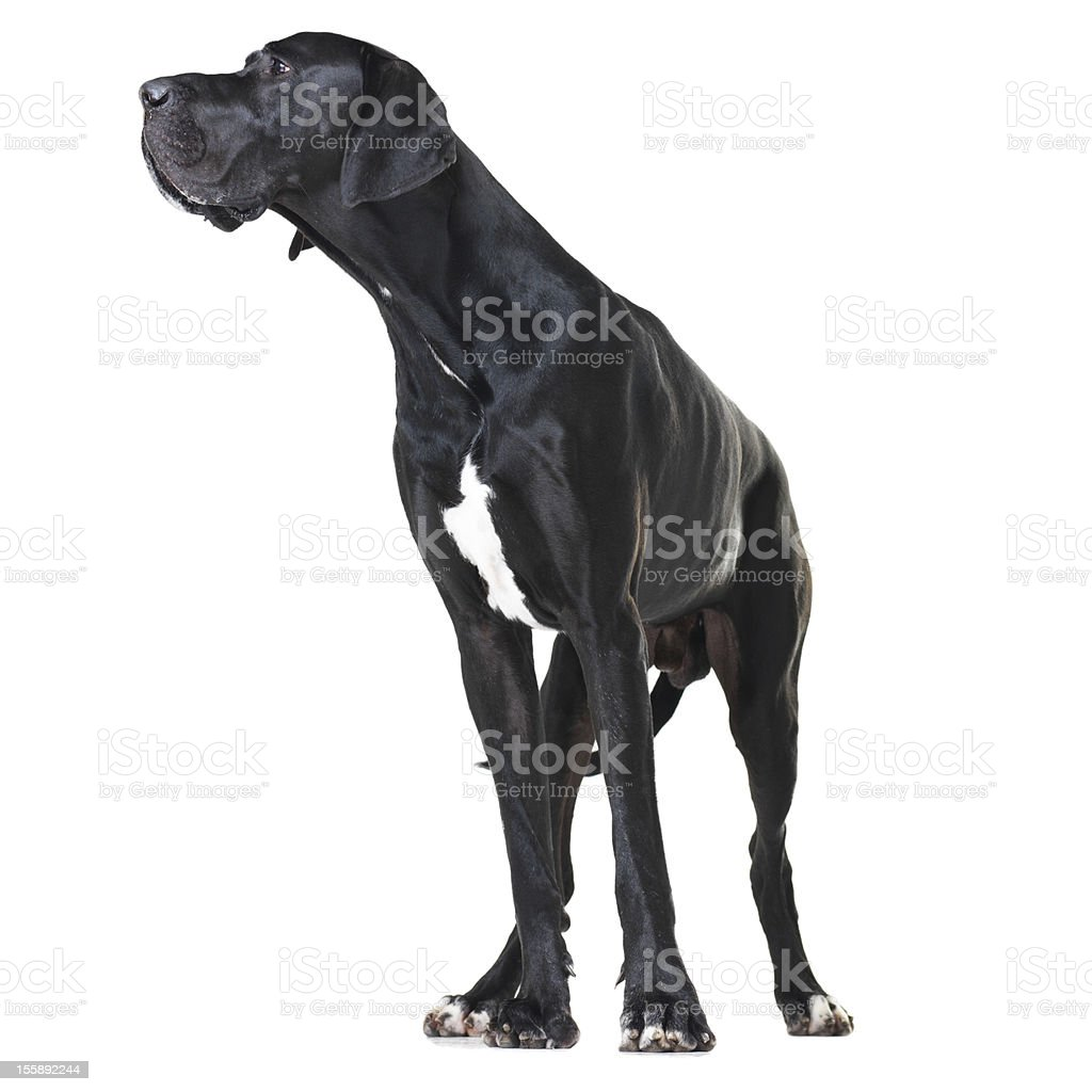 Focused on being a great watchdog stock photo