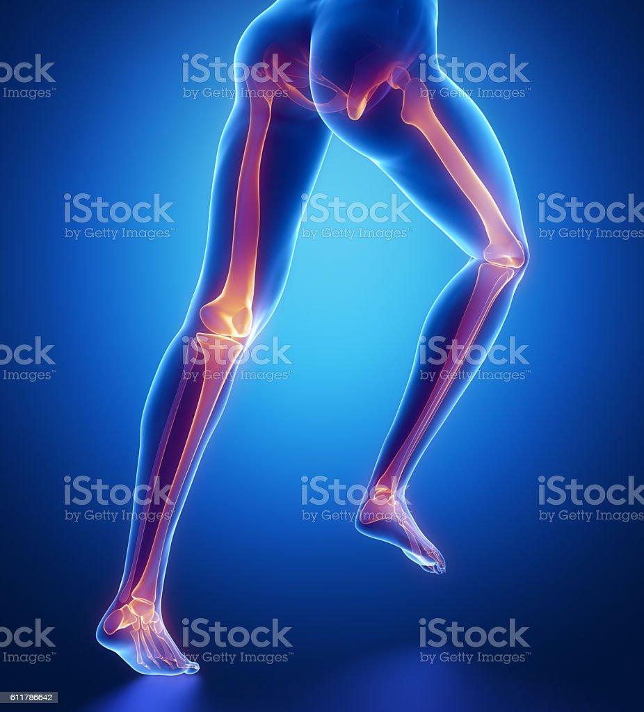 Konzentriert Auf Bein Knochen Anatomie Stock-Fotografie und mehr ...