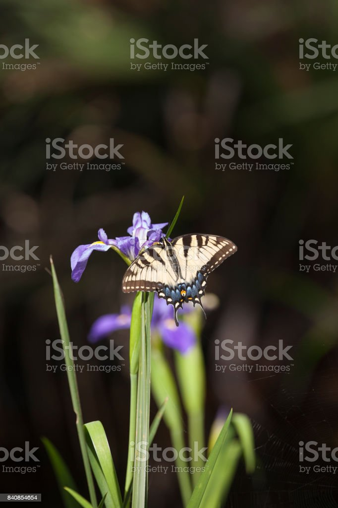 Focused on the Beautiful Tiger Swallowtail Butterfly Wings alighting on a Purple Iris stock photo