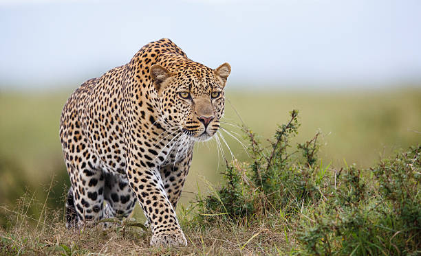 Focused Leopard hunting in savannah masai mara national reserve stock pictures, royalty-free photos & images