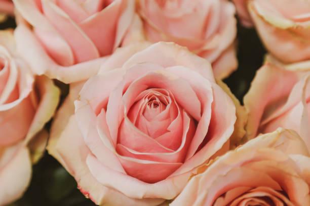 fokussierte weiche rosa rose mit zusätzlichen knospen surounding es - hochzeitsreise amsterdam stock-fotos und bilder