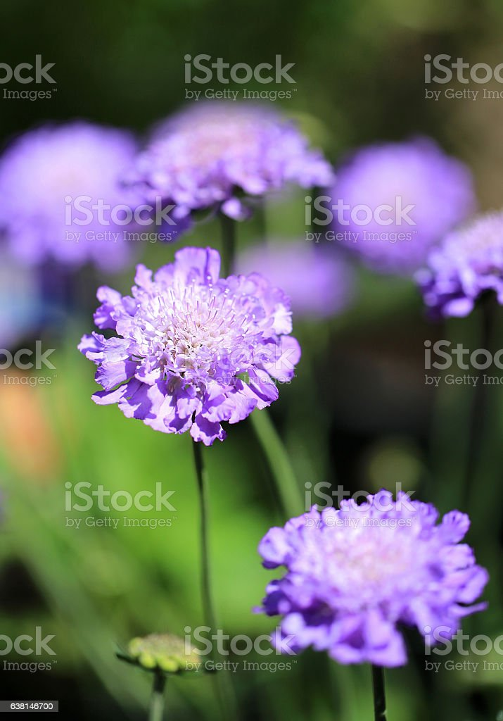 Focussed Purple Scabious Flower with bokeh background stock photo