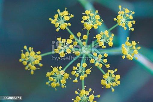 Foeniculum vulgare flowers in macro shot