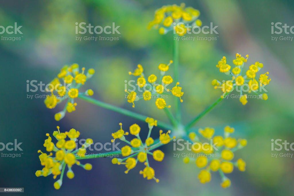 Foeniculum Vulgare Blumen – Foto
