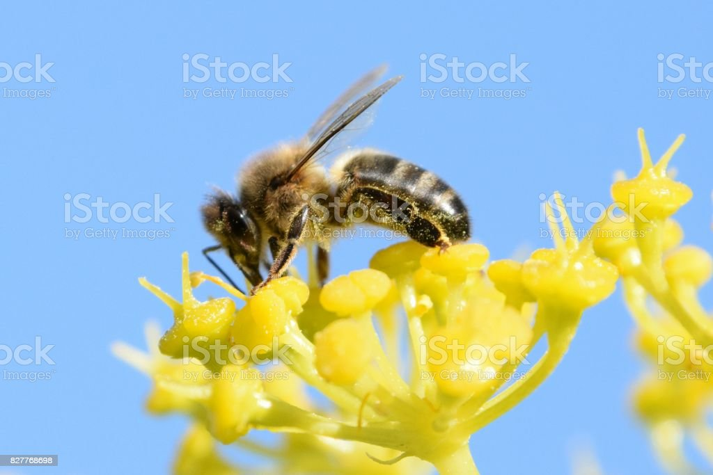 Foeniculum vulgare y apis mellifera - Photo