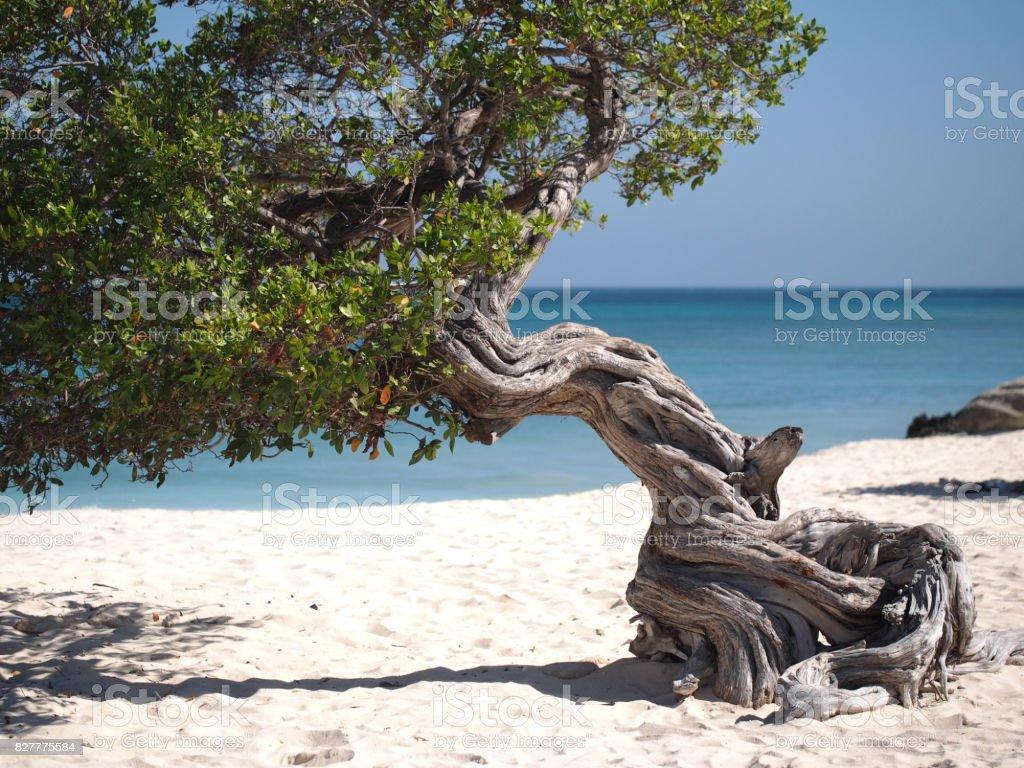 Fofoti Tree stock photo