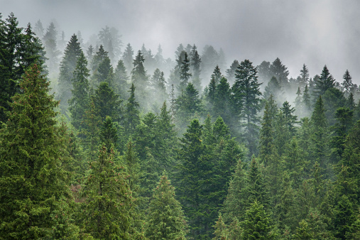 fog and rain clouds in the pine forest