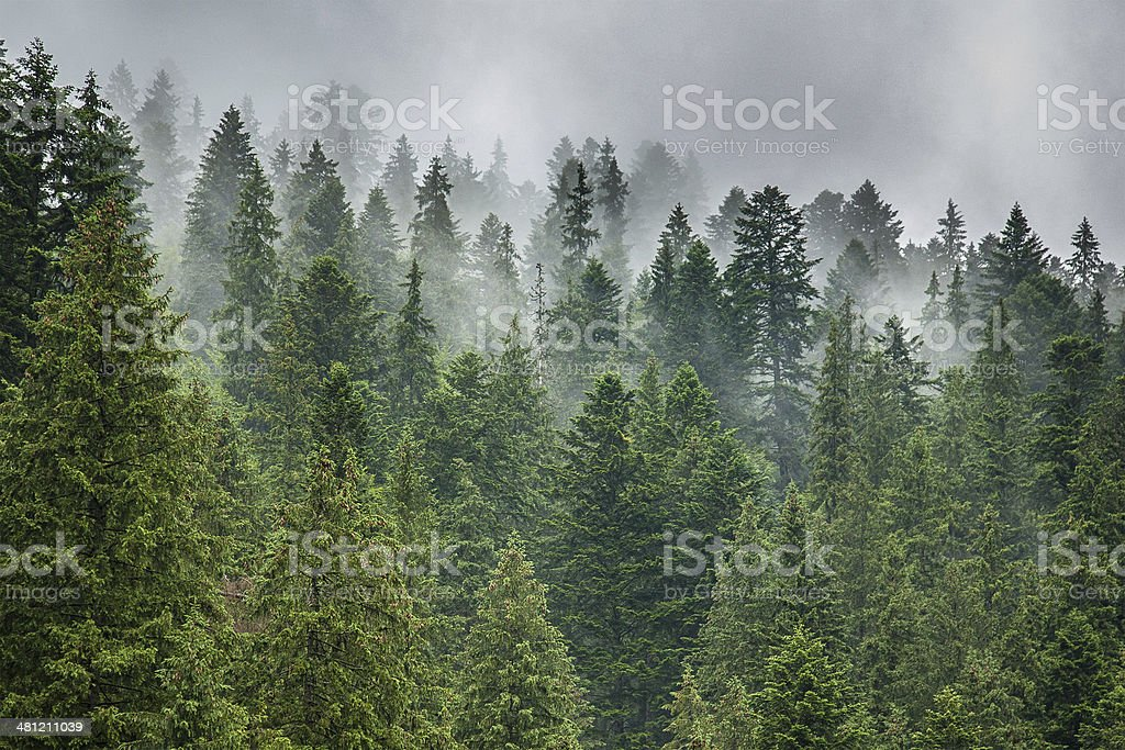 fog and rain clouds in the pine forest stock photo